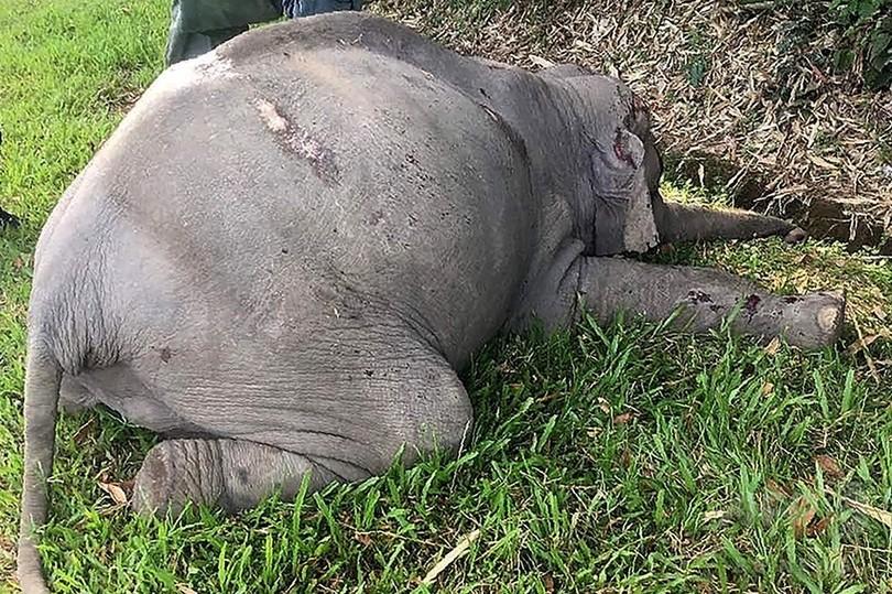 野生のゾウ、観光バスにはねられ死ぬ マレーシア