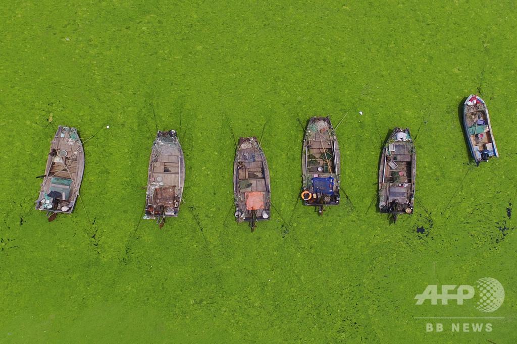 今年も大量発生、海面を覆う鮮やかな緑の藻 中国・青島