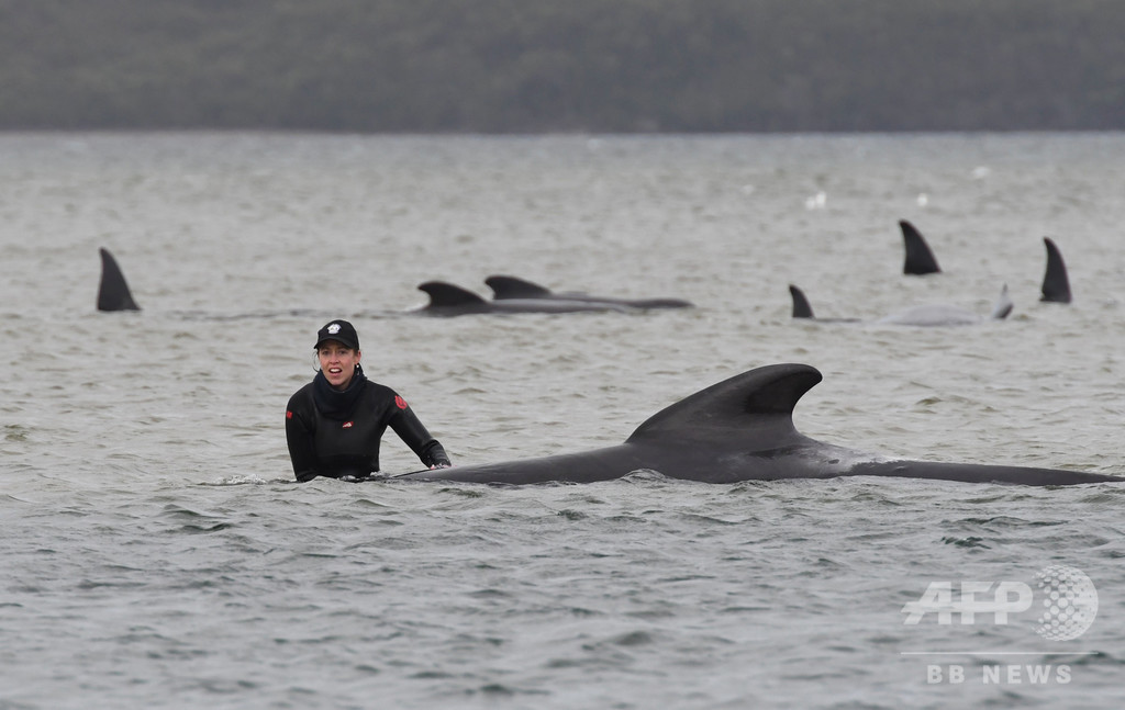 クジラさらに200頭を浅瀬で発見、計470頭に 豪タスマニア島