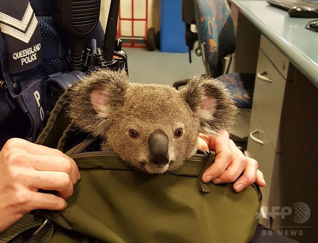 豪警察、コアラの赤ちゃんを保護 職質した女性のバッグから発見