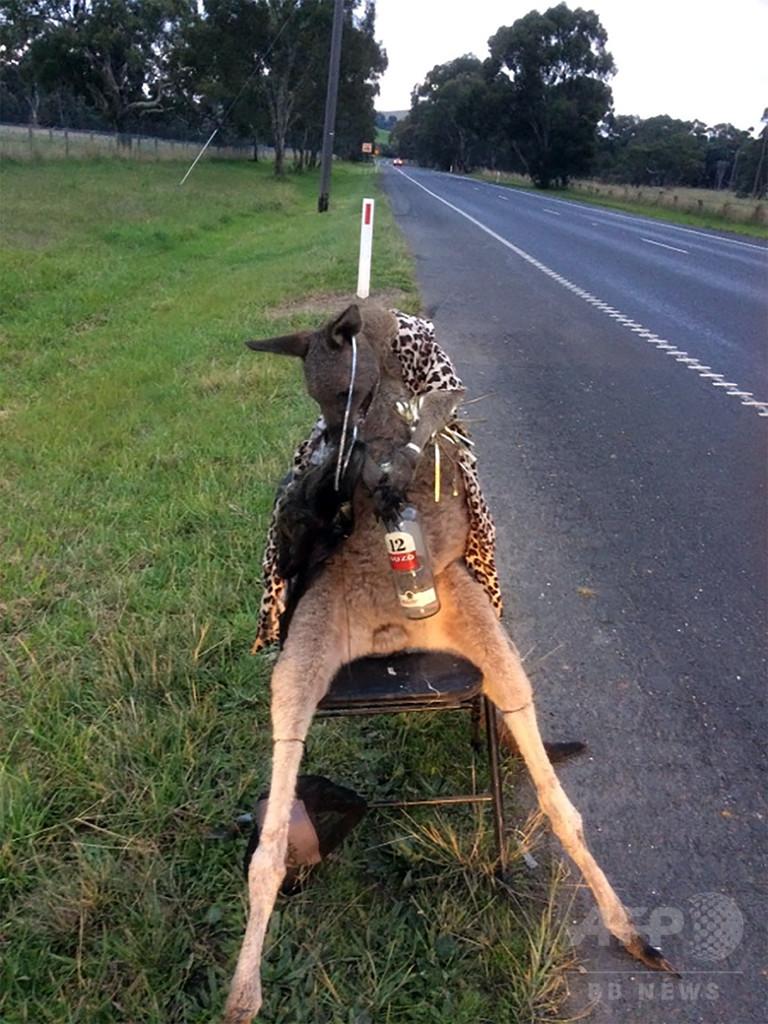 射殺されたカンガルー、道端の椅子に縛り付けられる 豪 写真1枚 国際 ...