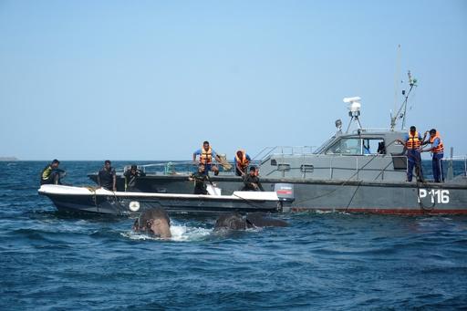 スリランカ海軍、沖に流されたゾウをまた救出 今度は2頭