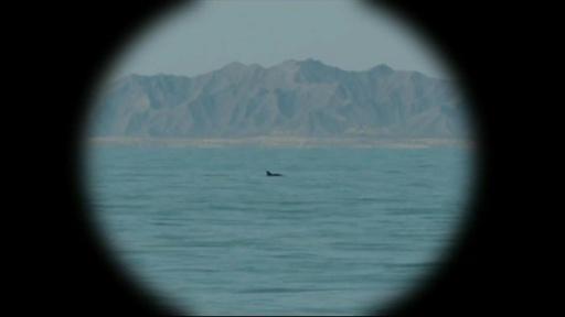 動画:絶滅危惧種の世界最小のイルカ、メキシコ沖で6頭確認