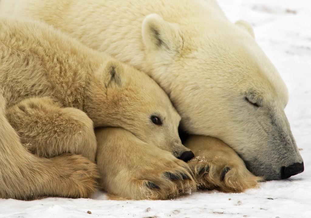 ホッキョクグマ、気候変動で個体数3割減も 2050年までに