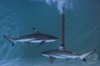 レストランの狭い水槽にサメ、動画に怒りの声殺到 マレーシア