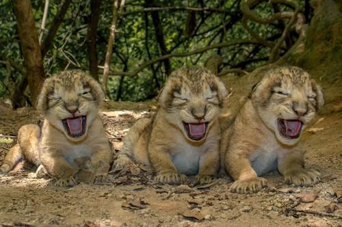 「おなかすいたよぉ」、ライオンの赤ちゃん大合唱 インド