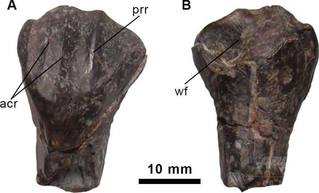 背に「帆」持つ新種恐竜、スペインで化石発見