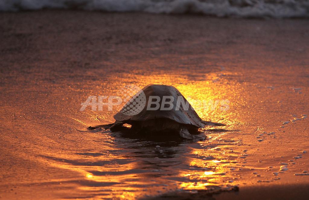 コスタリカ、ウミガメの大群が産卵
