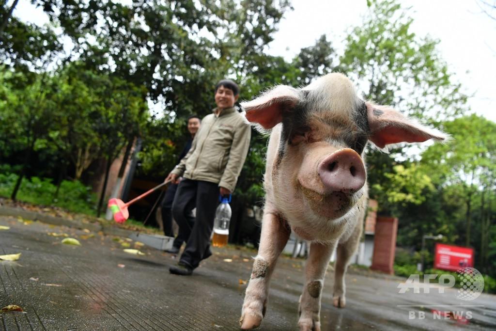 四川大地震で救助された「ガンバル豚」が12歳に