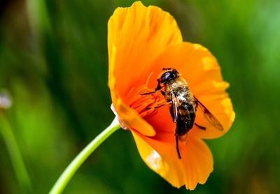 キノコはハチの救世主? 抽出物にウイルスからの保護作用か