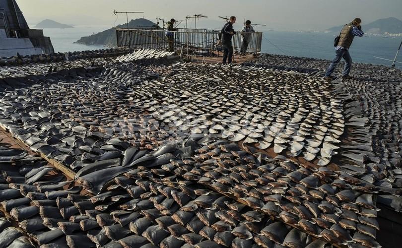 サメ5種、新たに保護対象に ワシントン条約締約国会議