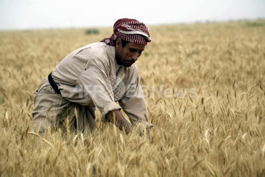 小麦を襲うカビ、パキスタンまで拡大か?