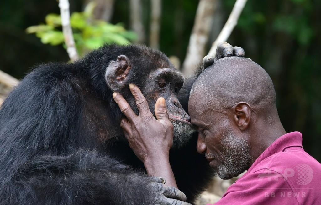 「チンパンジー島」最後の1頭、コートジボワールで保護の取り組み