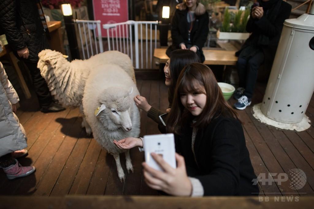「羊カフェ」でひつじ年祝う、ソウル