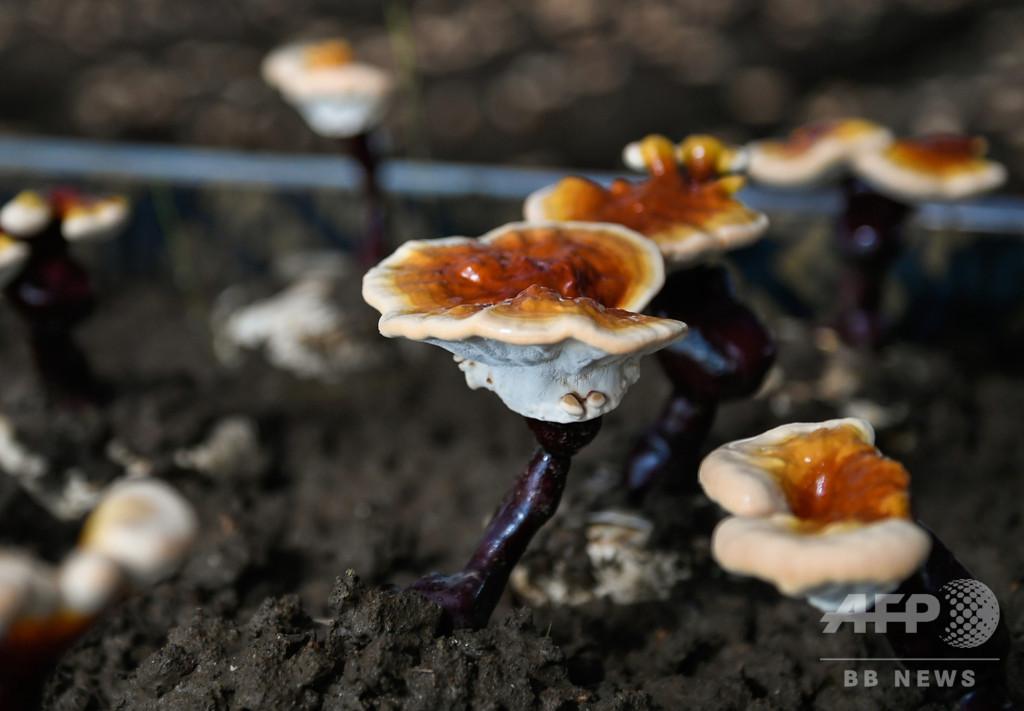 チベット自治区ニンティ市、霊芝の人工栽培に成功