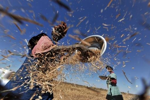 絶滅寸前のアフリカ米、再導入実験に取り組むトーゴ農家