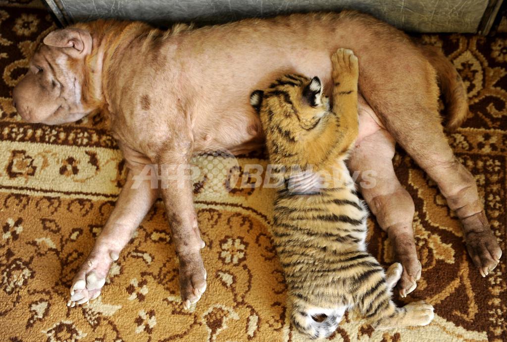 ロシアの子トラ、新しいお母さんはイヌ