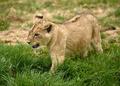 パリのシャンゼリゼ通りでライオンの赤ちゃん、レンタルされた高級車から