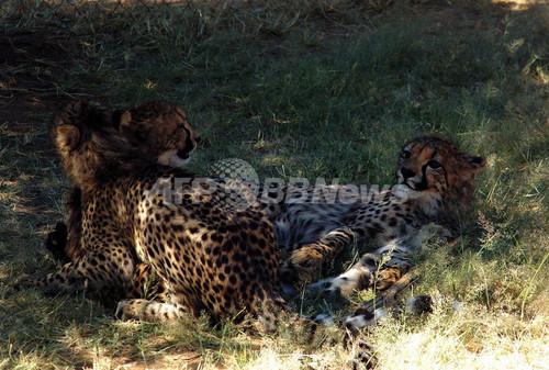 死んだ母チーターから取り出された兄弟3頭、元気に育つ ナミビア