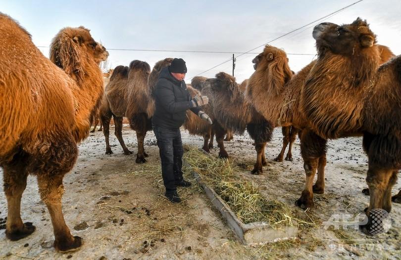 ラクダの飼育で貧困脱却へ 新疆ウイグル