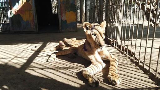 動画:スーダンの「痩せこけた」ライオン、5頭のうち1頭死ぬ