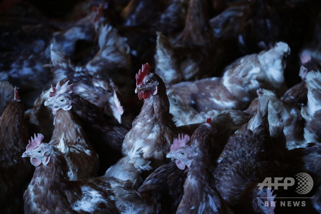 鶏小屋にキツネの死骸、鶏が群れになり逆襲か フランス