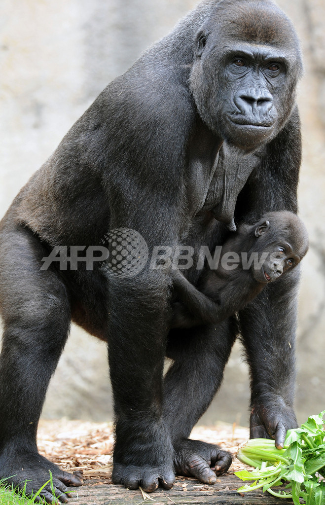 人類のDNA、15%はチンパンジーよりゴリラ寄り 定説覆す研究結果