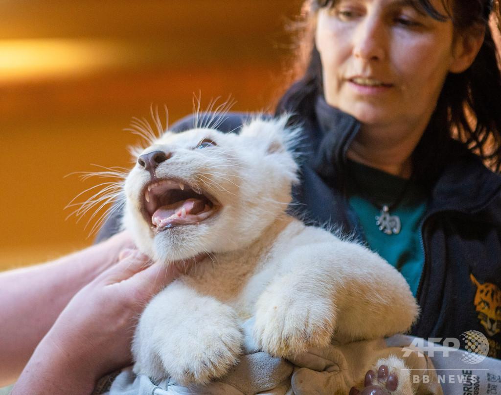 【今日の1枚】おっかなびっくり予防接種、ホワイトライオンの赤ちゃん