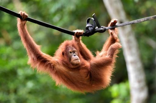村人のペットだったオランウータン 野生に戻る インドネシア