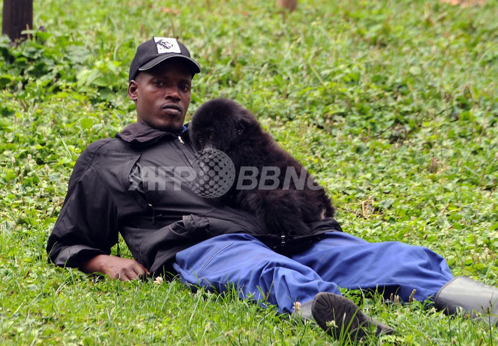 救出されたマウンテンゴリラの赤ちゃん、元気に成長中 ルワンダ