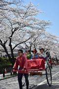都内で桜見ごろ、花見客で賑わい