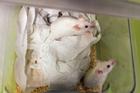 不快な記憶の「書き換え」、マウス実験で成功 国際研究