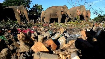 動画:ごみをあさる「国の宝」のゾウ、多くは病気に スリランカ