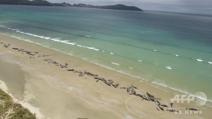 NZの浜辺にゴンドウクジラ145頭、半数生存も安楽死