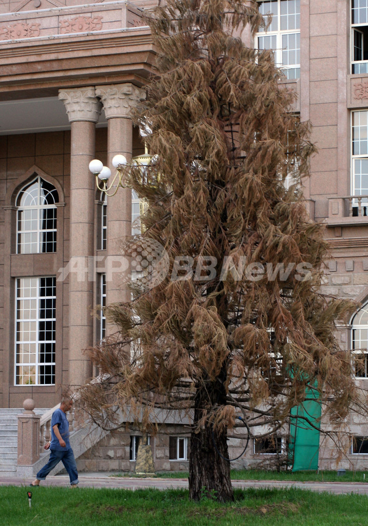 「永遠の独立」記念したセコイア、熱波で枯死 タジキスタン