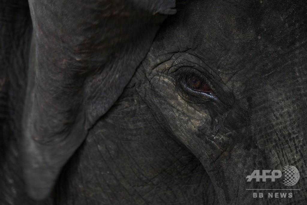 野生ゾウ1頭がトラックにはねられ死ぬ、マレーシア
