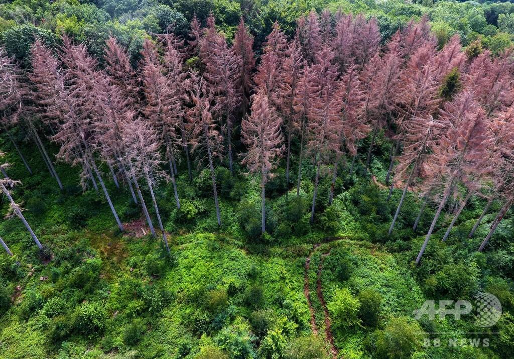 干ばつで枯れた針葉樹林、6月熱波の余波 ドイツ