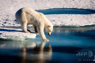 高代謝のホッキョクグマ、海氷減少で飢餓状態に 研究