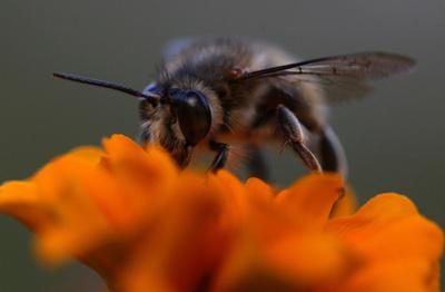 ディーゼル排気でミツバチの受粉媒介が困難に、研究