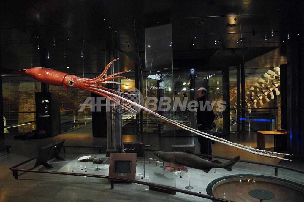 パリの博物館に巨大イカ出現
