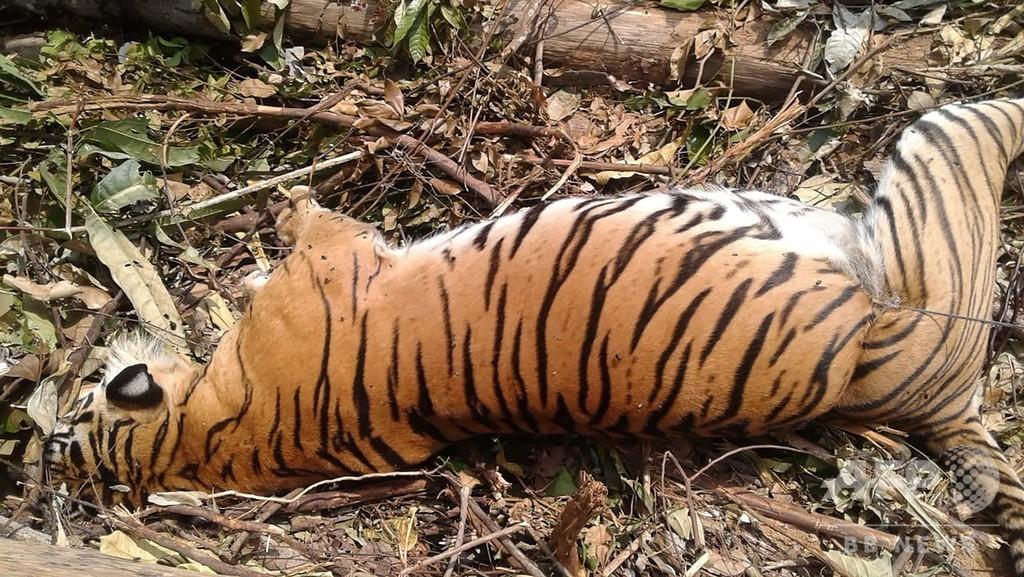 絶滅危惧種のスマトラトラ死骸、わなにかかった状態で発見 インドネシア