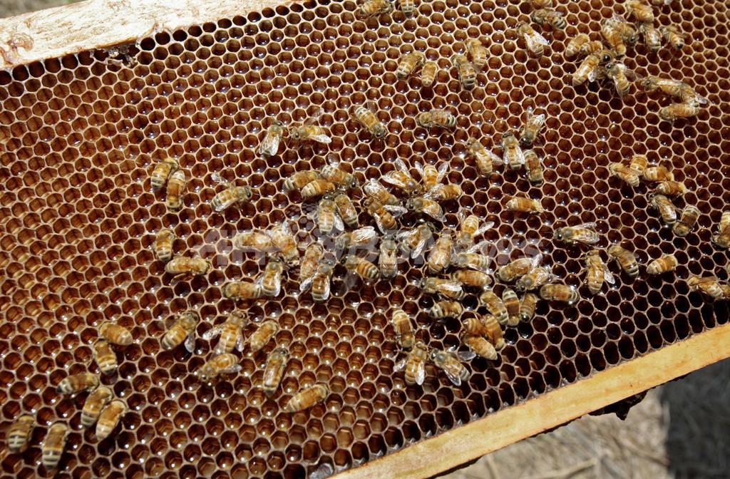 ミツバチが消える「蜂群崩壊症候群」の原因にウイルス説浮上