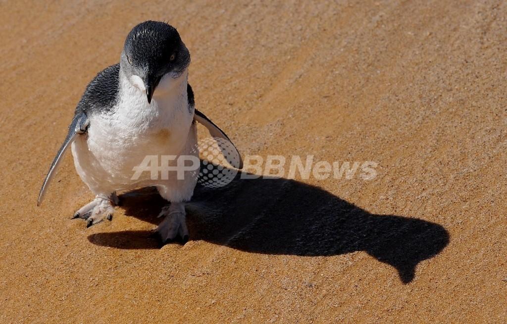 キャットベイでイヌがペンギン襲う?豪・フィリップ島