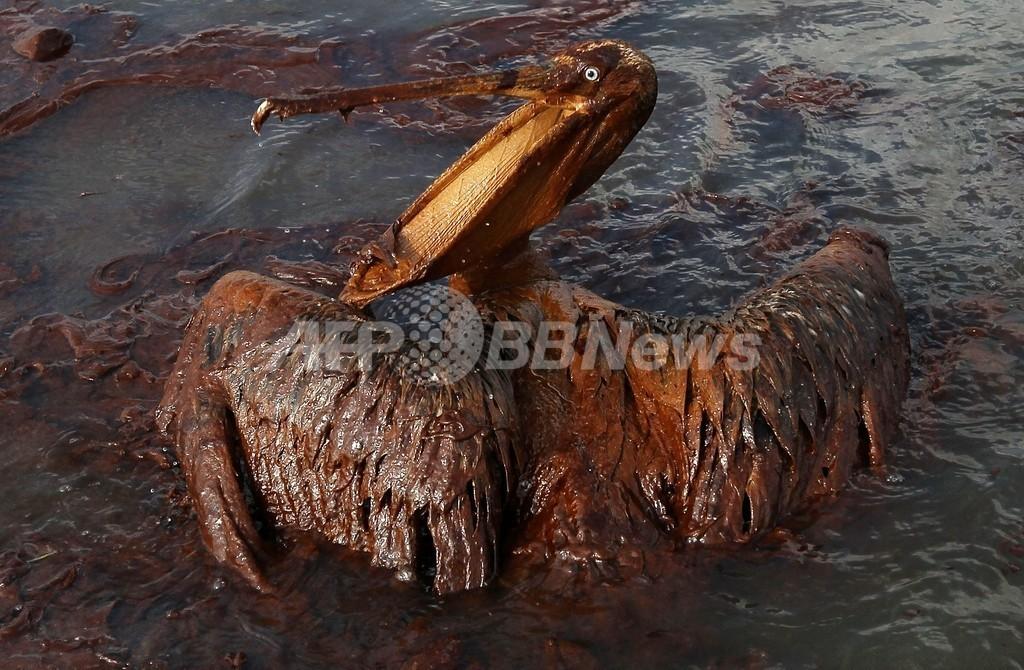 油まみれの鳥たち、メキシコ湾原油流出事故