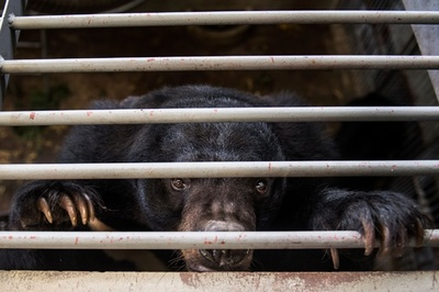 ベトナム、胆汁目的で飼育されたクマ1000頭超を救出へ