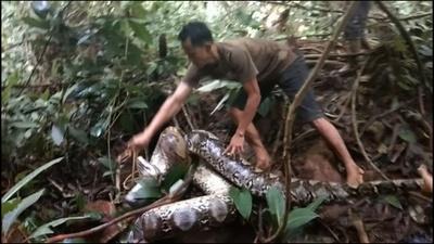 動画:ウナギ捕りに出掛けた村人ら、8メートルのヘビ捕獲 インドネシア