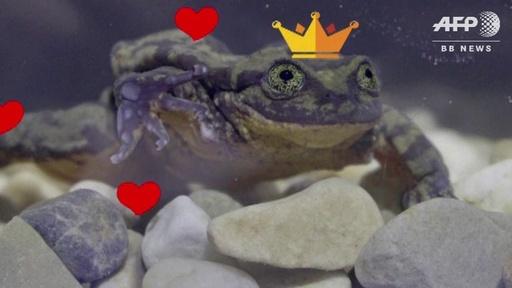 動画:「世界一孤独なカエルに彼女を」ボリビア