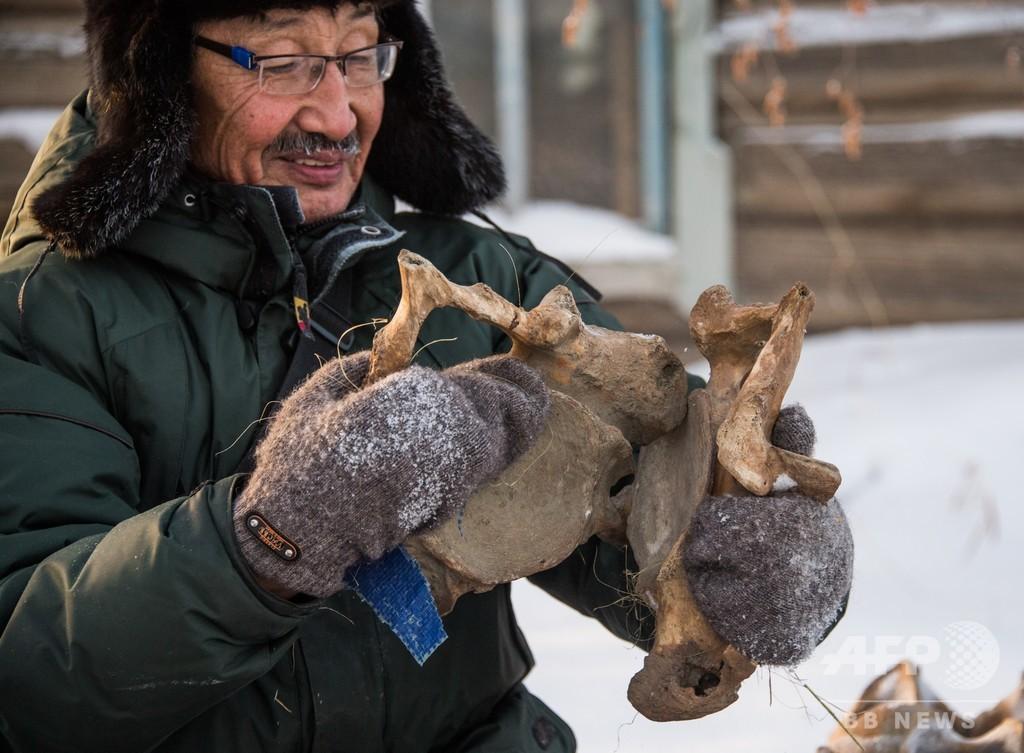 永久凍土の「ゴールドラッシュ」、マンモスの牙が中国で人気 ロシア・サハ共和国