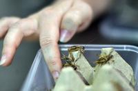 コオロギにゴキブリ、オーストラリアの新流行「昆虫食」