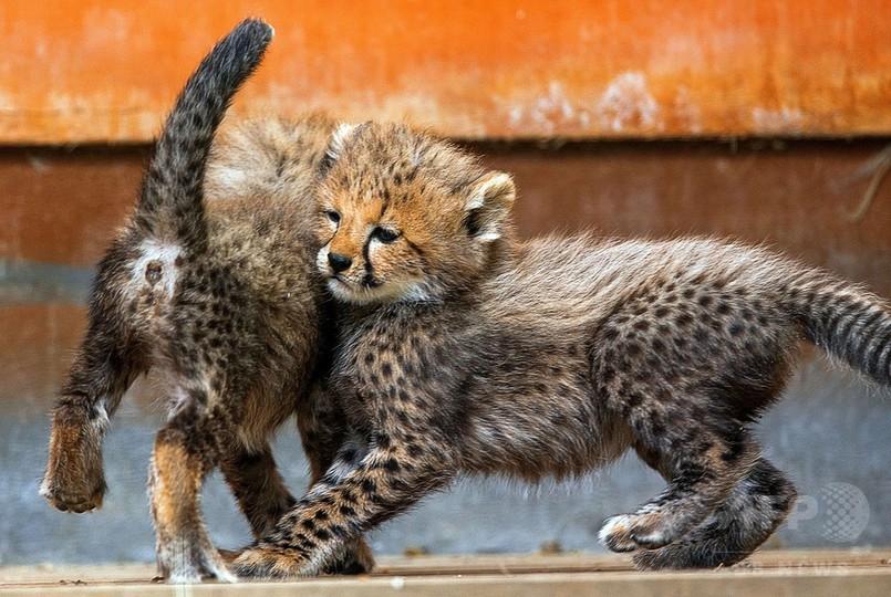 元気いっぱい、チーターの赤ちゃん屋外デビュー 独動物園